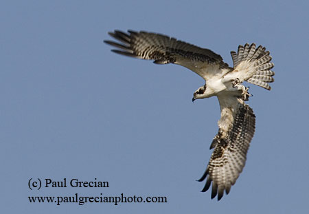 Osprey in Flight - (c) Paul Grecian