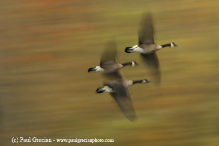 Geese-in-flight-II
