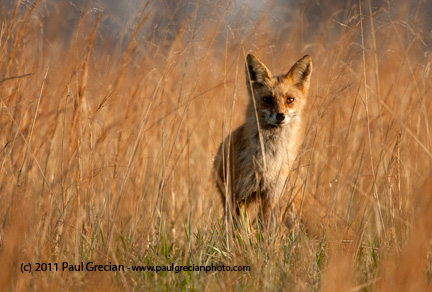Red Fox in golden grasses